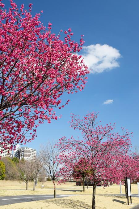 研究学園の早咲きの桜が次々と開花そして満開へ!