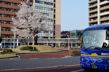 【研究学園の桜4】3/29、桜スポットを15カ所巡ってきた!