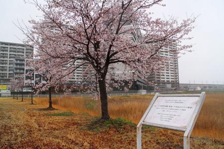 イルミネーションに続き千本桜のホームページも作ります!
