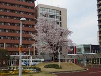 研究学園には桜の名所がたくさんあります!(第1弾)
