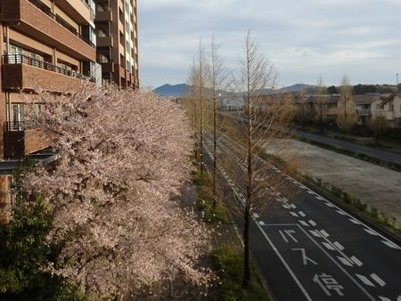 研究学園には桜の名所がたくさんあります!(第2弾)